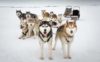 Icelandic dogs on Ice